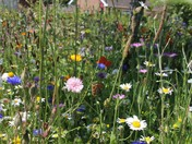 Wild flowers in our garden in Hethersett