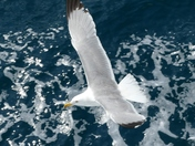 Seagull on the Ferry to Thassos Greece (Wings comp)