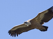 Griffon Vulture in southern Spain (wings comp)