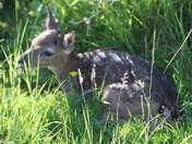 new born fawn