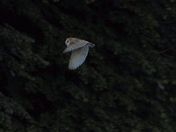 My first ever capture on camera of wild owl in the wild . and it was a Barn Owl