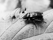 Garden Chafer Beetle