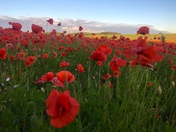 Pretty poppy field