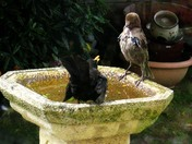 There's not enough room in this bird bath for both of us