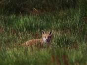 Fox Cub