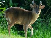 The muntjac.