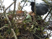 Mother Coot looking after its eggs