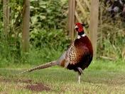 Tha handsome pheasant.