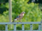 The Jay bird.