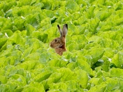 Hare in the middle of it all