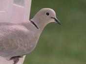 The collared dove.