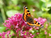 Tortoiseshell Butterfly,first I have seen in my garden this summer.