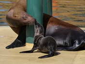 Sea Lion born at Banham Zoo