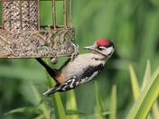 Juvenile Woodpecker