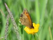 Pretty Meadow Brown