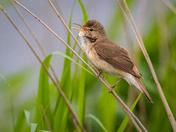 Strumpshaw Reed Warbler
