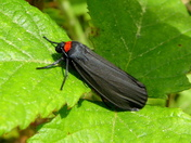 Red-necked Footman Moth (Atolmis rubricollis)