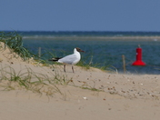 NORFOLK BEACHES, WELLS, ALWAYS GULL AROUND