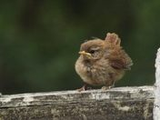 Baby Wrens Fledgling