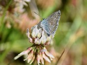 My First Common Blue of the year