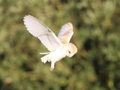 Barn owl on a midday