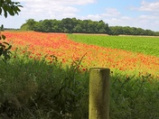 poppy fields Hemley