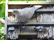 THE BEAUTIFUL COLLARED DOVE