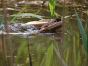 H2O - A Water Vole on the Wensom