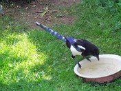 OUR MAGPIES - PART 2