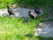 STARLINGS THE YOUNGSTERS PART 2