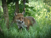 The Fox.