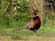 The lovely pheasant.