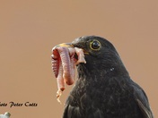 Blackbird getting food for its young