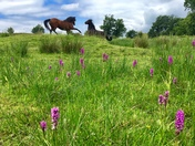 Wild horses and wild orchids