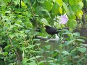 The Blackbird in the garden
