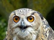 Eagle Owl At Norfolk Lavender