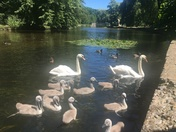 Swans and cygnets on Little Ouse river, Thetford