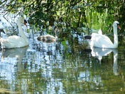 Swan family in the shade.