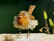 Windy day,ruffles robins feathers.