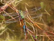 Emporer Dragonfly