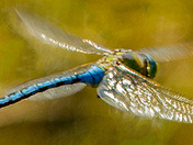 Male Emperor Dragonfly on the wing