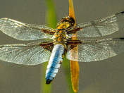 Male Broad Bodied Chaser on the Blackmoor Reserve, Charterhouse