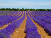 Lovely lines of lavender