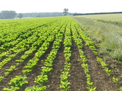 Rows of sugar beet in the field.(photo challenge)