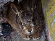 Leveret in the shade