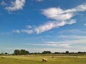 A meadow of sheep at Martlesham creek