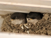 Baby swallows under the eaves