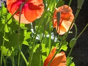poppies in the morning sunlight