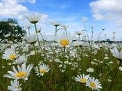 Summer ..pretty summer daisy field