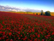 Summer..pretty poppy field